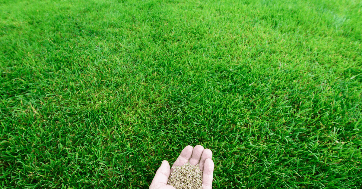 bermuda-grass-seed
