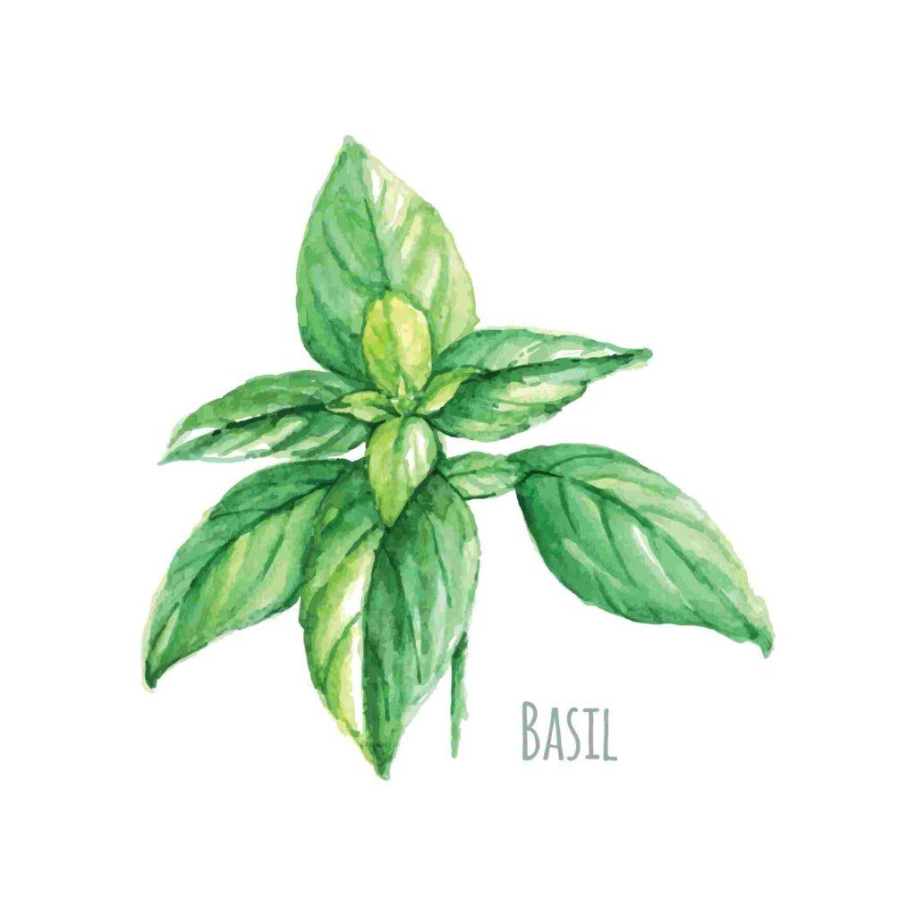 basil hd image