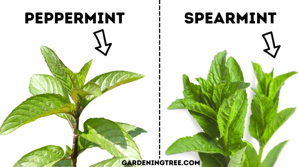 Difference Between Peppermint and Spearmint
