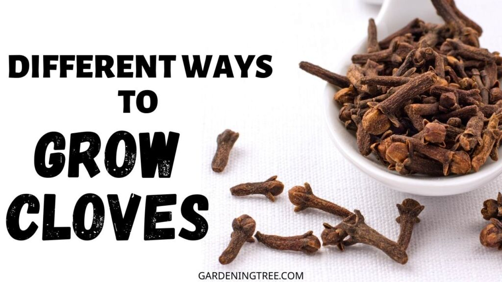 Different Ways to Grow Cloves